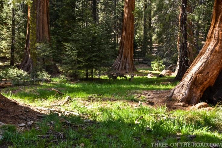 Sequoia-28