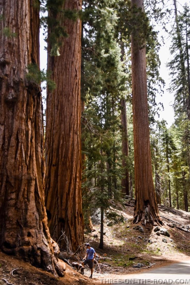 Sequoia-8