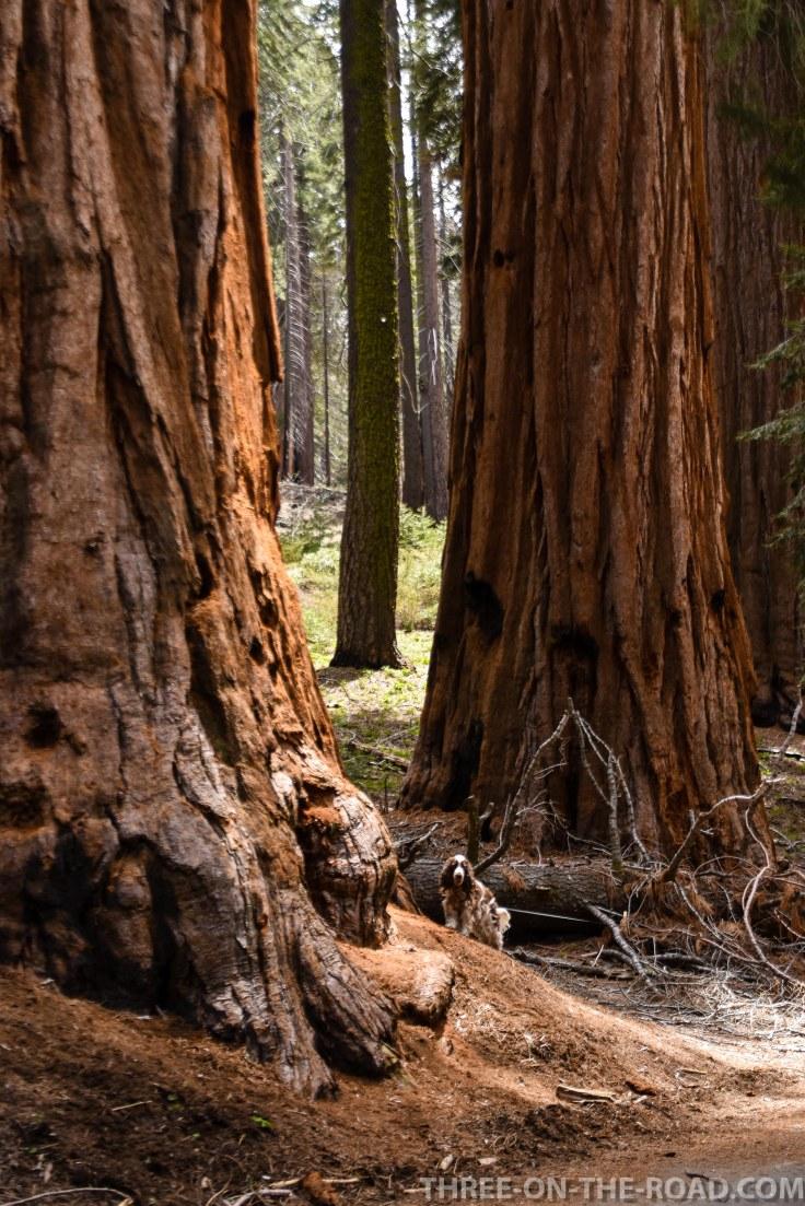Sequoia-9