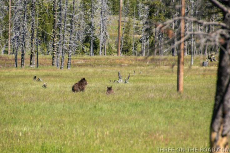 Yellowstone-Bear-1