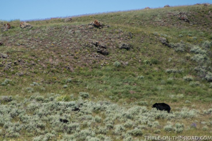 Yellowstone-Bear-2