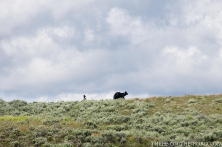 Yellowstone-Bear-3
