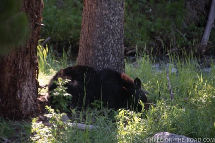 Yellowstone-Bear-4