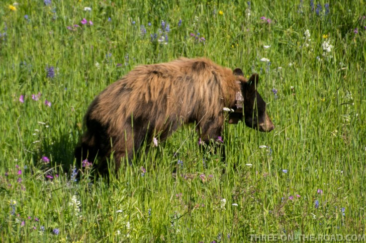 Yellowstone-Bear-5