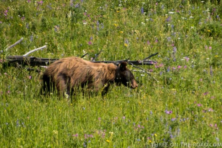 Yellowstone-Bear-6