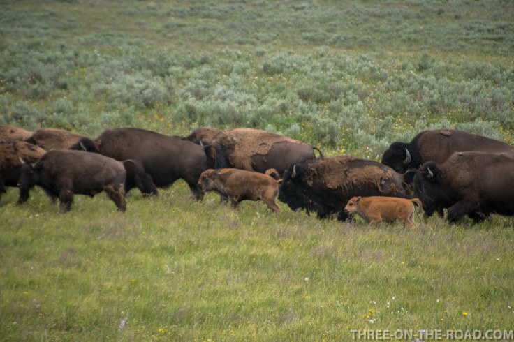 Yellowstone-Bison-10
