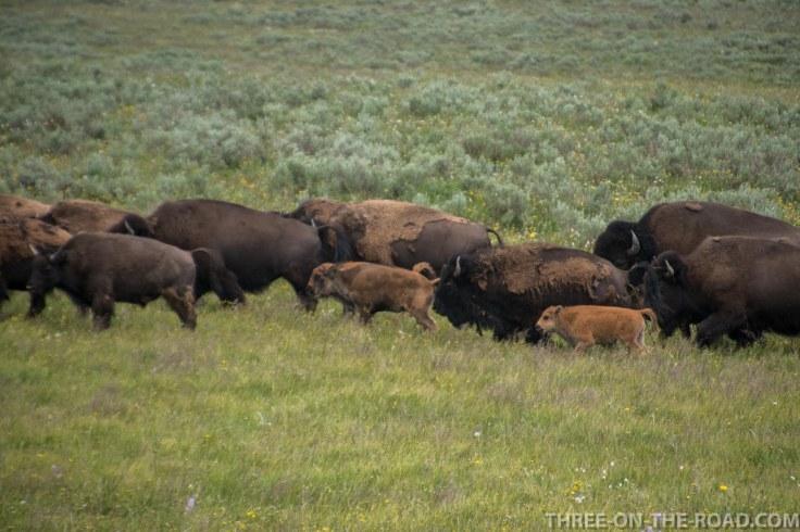 Yellowstone-Bison-10