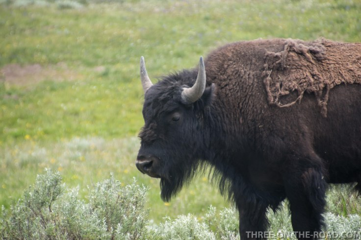 Yellowstone-Bison-11