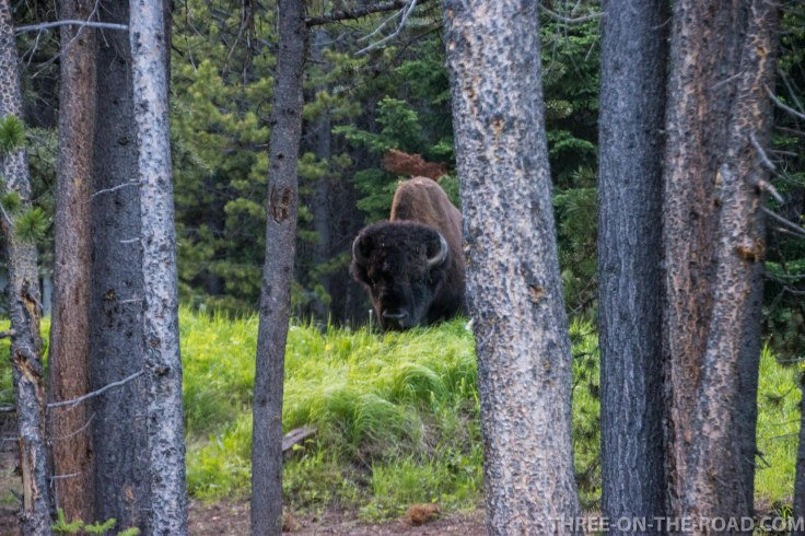 Yellowstone-Bison-5