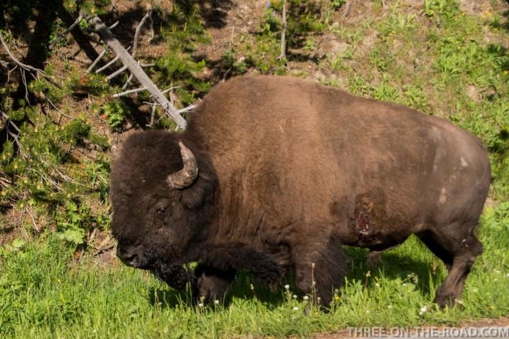 Yellowstone-Bison-8