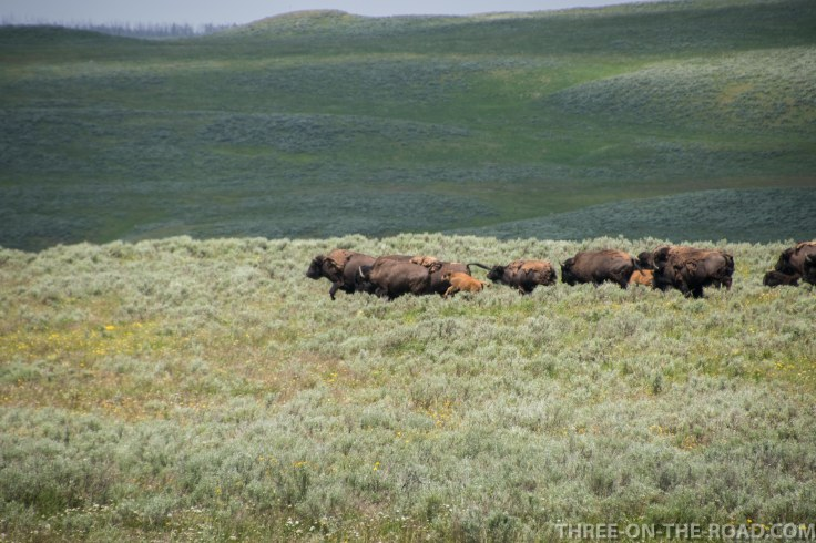 Yellowstone-Bison-9