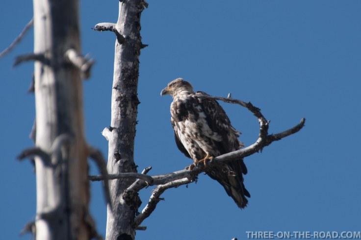 Yellowstone-Eagle-1