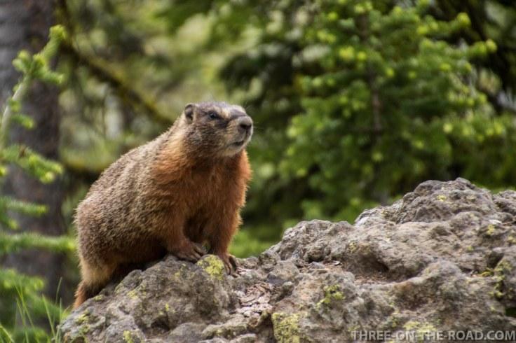 Yellowstone-Marmot-1