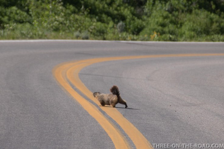 Yellowstone-Marmot-2